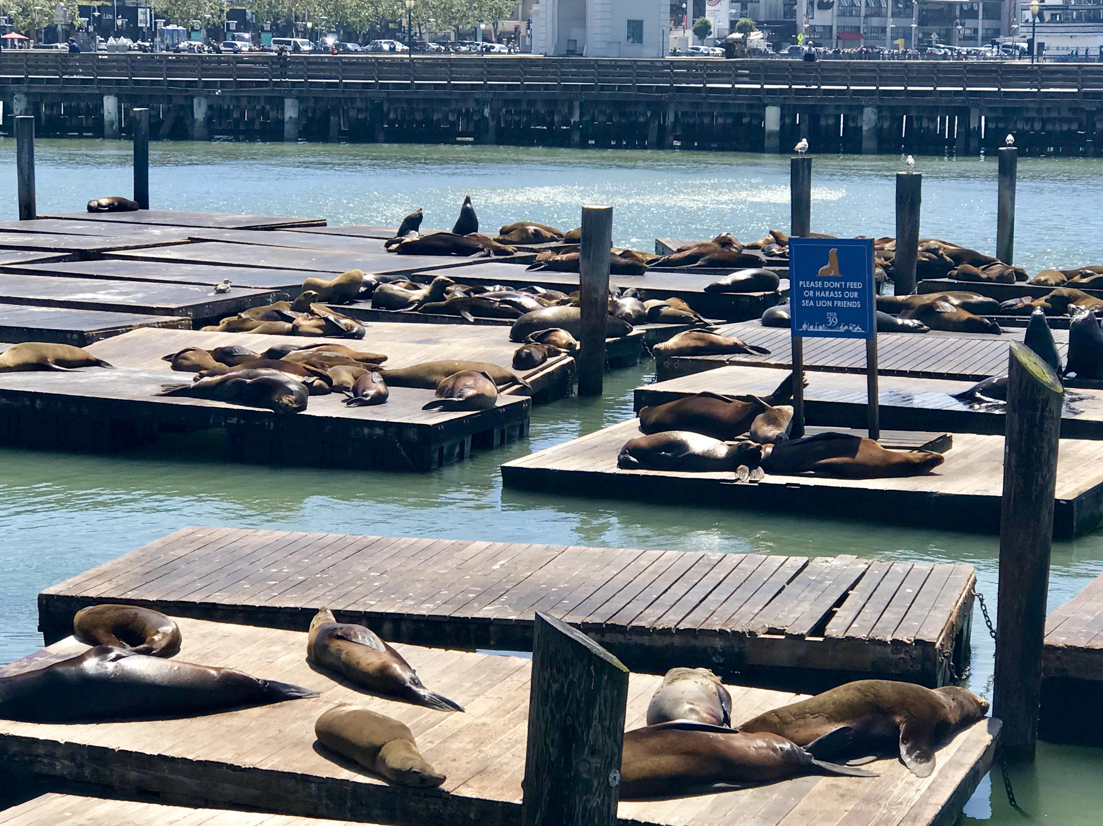 Sjölejon vid Pier 39, San Francisco
